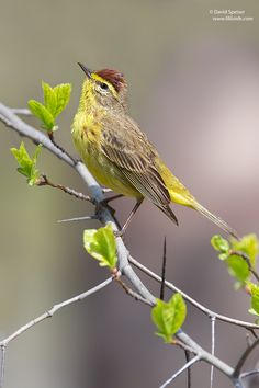 The Palm Warbler (Setophaga palmarum) is a small songbird. This species breeds in open coniferous bogs and edge east of the Continental Divide, across Canada and the northeastern United States.