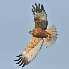 Bruine kiekendief Kinds Of Birds, Birds Of Prey, Fauna, Raptors, Pet Birds, Eagles, Wonders Of The World, Cute Animals, Vikings