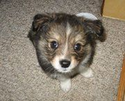 Maya my Poshie as a puppy. She is my baby!