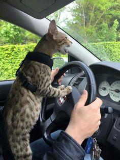 Driving cat