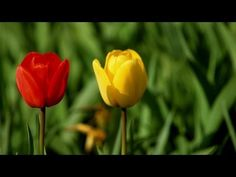 Tulip Colors | At Home With P. Allen Smith