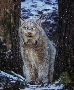 Winter Lynx - A Canadian Lynx in a snowy Ontario forest.
