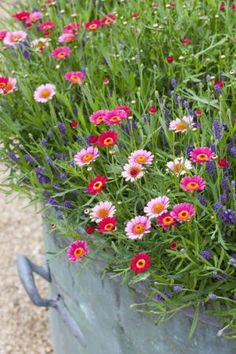 Argyranthemum and Lavender:  Contains:    5 Argyranthemum 'Cherry Red' - flowers continually for at least four months on minimal TLC, a very pretty pink red.  2 Lavender 'Hidcote Blue' - is the most floriferous of the compact lavenders, with purple-blue flowers. An incredibly reliable plant. (Lavender Pink Marguerite Daisy Chain. Argyranthemum Frutescens)