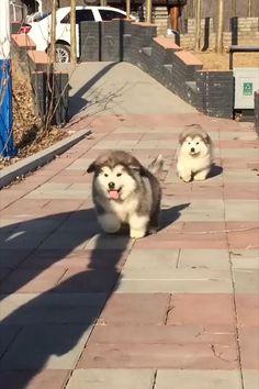Alaskan Malamute Puppies, Cute Wild Animals, Husky Puppy, Samoyed, Winter Snow Boots, Chow Chow, Dog Stuff, Funny Dogs, Cute Puppies
