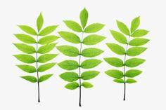 shrub identification by leaf - ash leaf