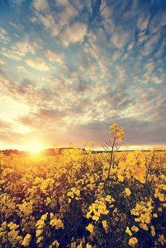 Field of Flowers and beautiful wispy cloud sky.