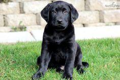 Black Labrador Retriever Puppies | Labrador Retriever Puppy for Sale: Leo - Black Lab Male - e9a858b6 ...