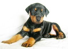 Ninja Girl_4weeks | HappyDobermans Breeder Photo | HAPPYDOBERMANS | Flickr