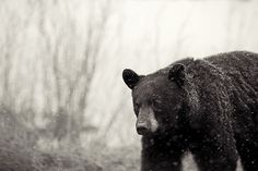 Bear's Chapter