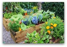 Raised bed vegetable gardens are a great choice for many gardeners. Once you build the beds, they are quite easy to care for and maintain. Add a few colorful flowers, and they are also beautiful!
