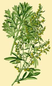 Wormwood Seeds from Alchemy Works - Seeds for Magick Herbs and Pagan Gardens     http://www.alchemy-works.com/artemisia_absinthum.html