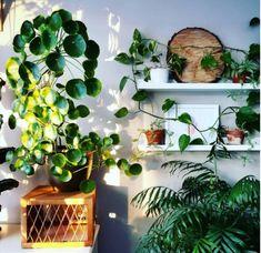Pilea Indoor Jungle <3