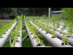 Successful Hydroponics agriculture in Punjab,india - YouTube