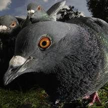 National Pigeon Day - June 13, 1919 - death of Cher Ami, carrier pigeon & World War I hero - Celebrate every day of the year at Worldwide Weird Holidays.