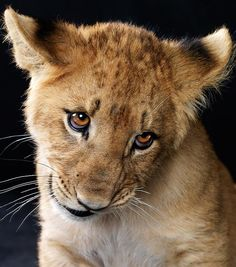 sweet lion cub eyes