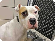 Fort Wayne, IN - American Bulldog. Meet POWER HOUSE, a dog for adoption. http://www.adoptapet.com/pet/18060428-fort-wayne-indiana-american-bulldog