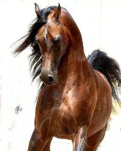 Arabian horses...one of a kind.