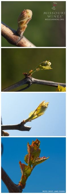 In the Vineyards: Bud Break Wine Vine, Growing Grapes, Tasting Room, Wine Country, Grape Vines, Bud, Missouri, Vineyard, Life