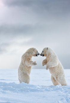Polar bear cubs play fight on a snow covered island in the Beaufort Sea, arctic, Alaska. Beautiful Creatures, Animals Beautiful, Bear Cubs, Polar Bears, Baby Animals, Cute Animals, Love Bear, Tier Fotos, Wild Life
