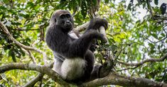 Odzala-Kokoua National Park guide, Alon Cassidy, enjoyed some wonderful sightings of western lowland gorillas enjoying some seasonal treats.