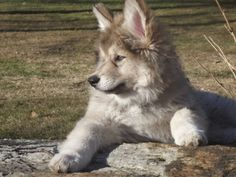 Native American Indian Dogs are used as excellent hunting companions, therapy dogs, handicap assist dogs, Search and Rescue animals, weight competition drought pullers, ski-joring dogs, and exceptional family companions.