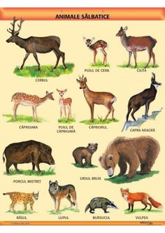 """Animale salbatice"" (pe offset de 160 g/mp) Language Activities, Preschool Activities, Baby Songs, School Lessons, Forest Animals, Pre School, Art For Kids, Google, Image"