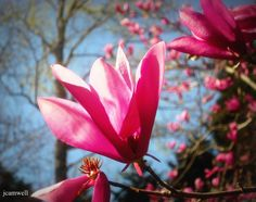 winter blooms on a Japanese Magnolia