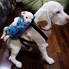 and some are dogs in bags attached to other dogs. | 17 Pictures That Prove Dogs Are Just Meant To Be Carried Not Walked