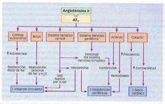 Aprende las acciones de la Angiotensina en los receptores AT1 y AT2 + VIDEO del Sistema Renina Angiotensina. - Medicina mnemotecnias