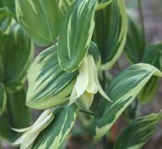 Uvularia perfoliata 'Jingle Bells'