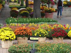 New Utah Gardener: Fall-Blooming Mums!  Hardy, Colorful and Waterwise...