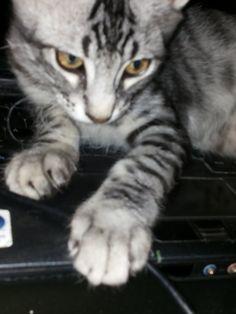 Cacciatore per gioco;-i gatti devono cacciare almeno sei ore al giorno. - AMICO MIO