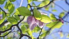 Prečo magnólii hnednú a odumierajú listy?