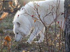 arctic wolf in Saskatchewan