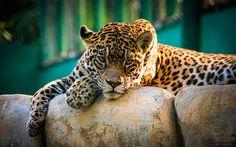"""A Jaguar resting and enjoying a sudden ray of light hitting him."""