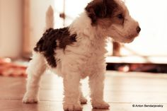 Fox terrier puppy- a fine dog in the making.