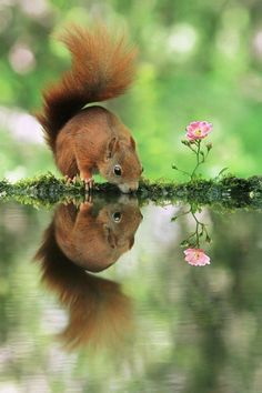 Squirrel drinking from a forest pool dotted with flowers