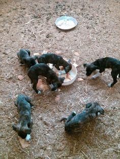 In questa foto non si vede ma in tutto sono sette cuccioli di cane corso, età 2 mesi!~ In this photo we can not see but all are seven puppies course, age 2 months!