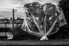 veiled tree. seattle, washington note: i hear wedding bells.