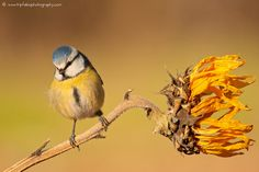 cip cip cip cip cip cip!!!!!!!  / cinciarella (Cyanistes caeruleus) by Fabio Fornasari on 500px