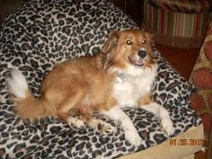 Teddy is an adoptable Shetland Sheepdog Sheltie Dog in Chapel Hill, TN. Teddy is appx. 7  yrs. old and weighs in at a mere 36