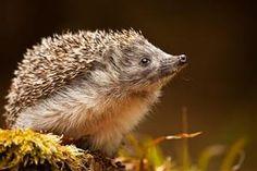 - Hedgehog -