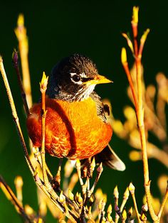 The American Robin bird (Turdus migratorius), also known as the Robin or Common Robin, is a migratory songbird of the thrush family. It's active during the day, and on its winter grounds it assembles in large flocks at night to roost in trees in secluded swamps or dense vegetation. The flocks break up during the day when the birds feed on fruits and berries in smaller groups. During the summer, the American Robin defends a breeding territory and is less social.