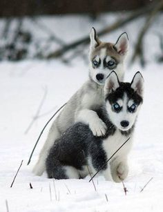 Adorable husky puppies in the snow. Cute Husky Puppies, Husky Puppy, Cute Dogs, Dogs And Puppies, Doggies, Beautiful Dogs, Animals Beautiful, Gorgeous Eyes, Pretty Eyes