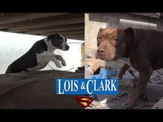 Saving Lois and Clark - two homeless Pit Bulls living in a truck yard - Please share. - YouTube