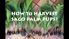 How to Harvest Sago Palm Pups? King Sago or Japanese Sago Palm https://www.youtube.com/attribution_link?a=tXw1v3r8EJc&u=%2Fwatch%3Fv%3DrXBleiCUzQo%26feature%3Dshare