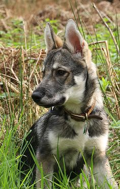 Meet the Tamaskan dog. A dog that looks just like a wolf. Cute Puppies, Cute Dogs, Dogs And Puppies, Corgi Puppies, Doggies, Animals And Pets, Baby Animals, Cute Animals, Beautiful Dogs