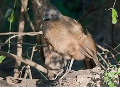 Plain Chachalaca, Identification, All About Birds - Cornell Lab of Ornithology    © Stephen Ramirez............     A large chicken-like bird of Mexico and Central America, the Plain Chachalaca reaches the United States only in southern Texas. Its name comes from its loud, raucous calls