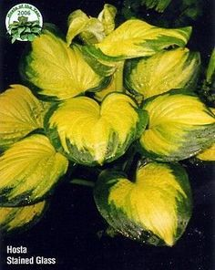 Stained Glass Hosta - HOSTA of the YEAR 2006! - Gallon Pot