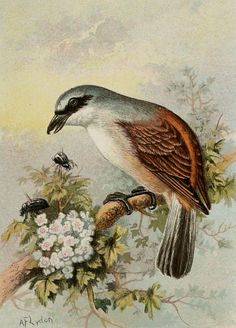 1892 Antique lithograph of a RED BACKED by TheOldPrintsCabinet